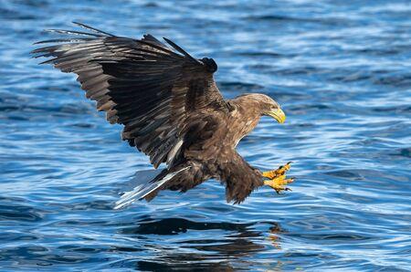 Pygargue à queue blanche en vol, pêche. Pygargue à queue blanche adulte, Nom scientifique : Haliaeetus albicilla, également connu sous le nom d'ern, d'erne, d'aigle gris, d'aigle de mer eurasien et de pygargue à queue blanche.