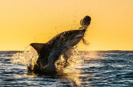 Silhouette of jumping Great White Shark. Red sky of sunrise. Great White Shark breaching in attack. Scientific name: Carcharodon carcharias. South Africa.