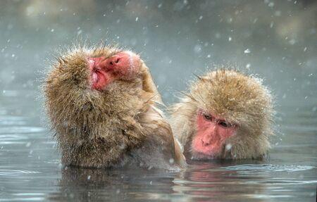 Macacos japoneses en agua de aguas termales naturales. Procedimiento de limpieza. El macaco japonés (nombre científico: Macaca fuscata), también conocido como mono de las nieves. Foto de archivo