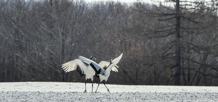 The red-crowned crane . Scientific name: Grus japonensis, also called the Japanese crane or Manchurian crane.