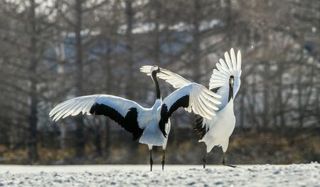 The red-crowned crane . Scientific name: Grus japonensis, also called the Japanese crane or Manchurian crane. Reklamní fotografie