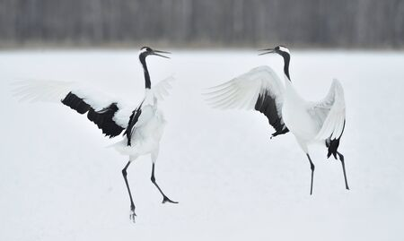 Dancing Cranes. The ritual marriage dance of cranes. The red-crowned crane. Scientific name: Grus japonensis, also called the Japanese crane or Manchurian crane, is a large East Asian Crane. Reklamní fotografie