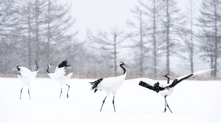 Dancing Cranes. The ritual marriage dance of cranes. The red-crowned crane. Scientific name: Grus japonensis, also called the Japanese crane or Manchurian crane, is a large East Asian Crane. Stock Photo