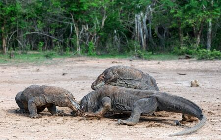 Fight of komodo dragons for prey. The Komodo dragon, scientific name: Varanus komodoensis. Indonesia. 写真素材