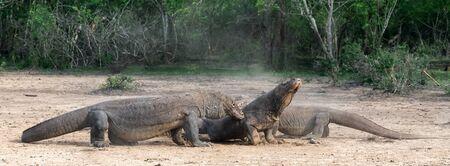 Fight of komodo dragons. The Komodo dragon, scientific name: Varanus komodoensis. Indonesia.