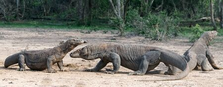 The Komodo dragons. Scientific name: Varanus komodoensis. Indonesia.