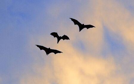The small flying fox, island flying fox or variable flying fox (Pteropus hypomelanus), fruit bat . Fox bat flying in the sunset  sky. Bats Leave Kalong Island for mainland every night in migration 版權商用圖片