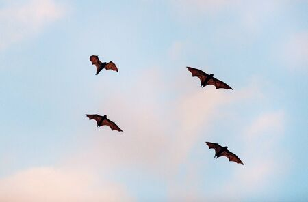 The small flying fox, island flying fox or variable flying fox (Pteropus hypomelanus), fruit bat . Fox bat flying in the sunset  sky. Bats Leave Kalong Island for mainland every night in migration 版權商用圖片
