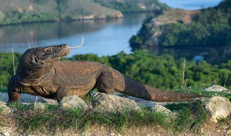 Portrait of the Komodo dragon. The Komodo dragon, scientific name: Varanus komodoensis. Indonesia.