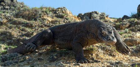 The Komodo dragon. Scientific name: Varanus komodoensis. Indonesia.