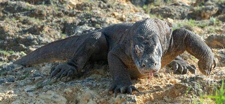 The Komodo dragon. Front view. Scientific name: Varanus komodoensis. Indonesia. Stock fotó