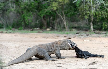 The dragon attacks. The Komodo dragon attacks the prey. The Komodo dragon, scientific name: Varanus komodoensis. Indonesia. 写真素材