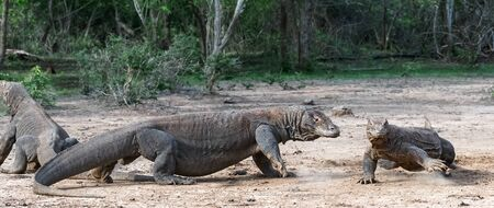 Komodo dragons. Scientific name: Varanus Komodoensis. Natural habitat. Indonesia. Rinca Island.
