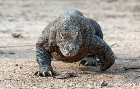 Walking komodo dragon, front view. Close up. Scientific name: Varanus Komodoensis. Natural habitat.  Indonesia. Rinca Island. Stock fotó