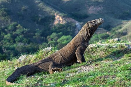 Komodo dragon.  Scientific name: Varanus Komodoensis. Natural habitat. Indonesia. Rinca Island.