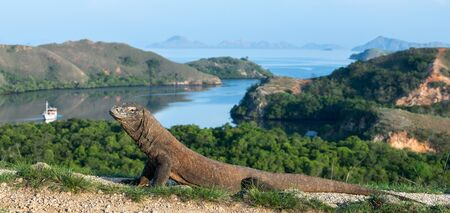 Komodo dragon,  scientific name: Varanus komodoensis. Scenic view on the background, Natural habitat.  Indonesia.