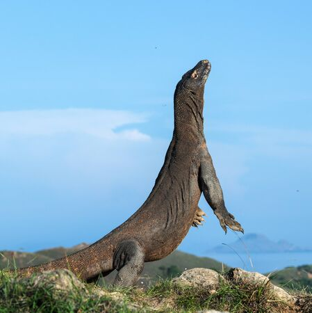 The Komodo dragon  stands on its hind legs. Scientific name: Varanus komodoensis. Biggest living lizard in the world. Rinca island. Indonesia. 写真素材