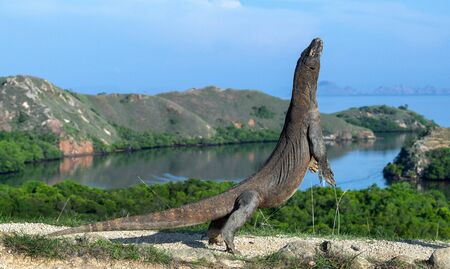 The Komodo dragon stands on its hind legs. Scientific name: Varanus komodoensis. Biggest living lizard in the world. Rinca island. Indonesia.