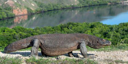 Walking komodo dragon. Scientific name: Varanus Komodoensis. Indonesia. Rinca Island.