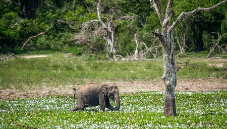 The adult Male of Sri Lankan elephant (Elephas maximus maximus) feeding on the swamp. Natural Habitat. Sri Lanka.