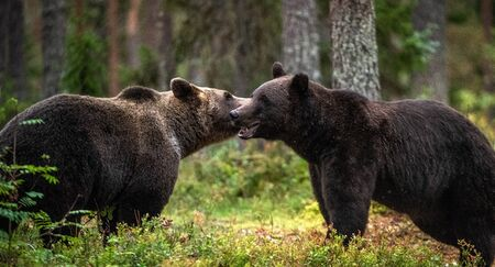 Male and female brown bears sniff at each other during the mating season. Scientific name: Ursus Arctos. Imagens