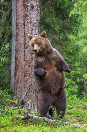 Female of Brown bear stands on its hind legs by a tree in a summer forest. Scientific name: Ursus Arctos ( Brown Bear). Green natural background. Natural habitat. 写真素材