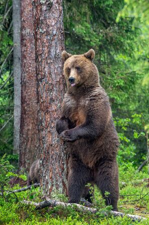 Female of Brown bear stands on its hind legs by a tree in a summer forest. Scientific name: Ursus Arctos ( Brown Bear). Green natural background. Natural habitat.