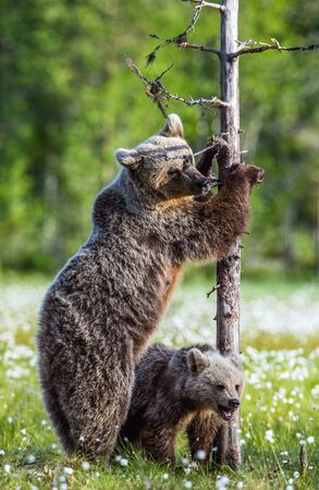 Bear cubs and mother she-bear on the swamp in the summer forest, among white flowers. She-bear stands on its hind legs. Bear family of Brown Bears. Scientific name: Ursus arctos. Stock fotó