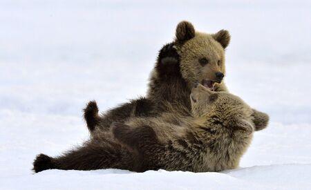 Bear Cubs are playing in the snow. Natural habitat. Brown bear, Scientific name: Ursus Arctos Arctos.