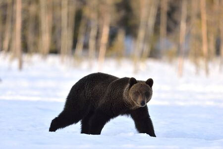Brown bear walking in the snow. Scientific name: Ursus Arctos. Sunset in winter forest. Natural Habitat. Stock Photo