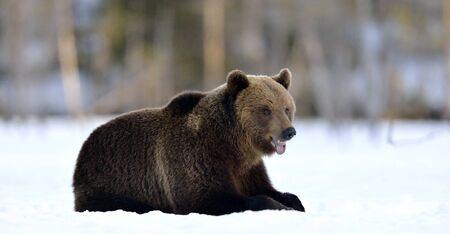 Bear lies  in the snow, winter forest. Brown bear in winter forest. Scientific name: Ursus Arctos. Natural Habitat.