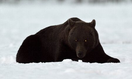 Brown Bear Silhouette. Silhouette of a bear lying at night on a snowy field. Big Adult Male of Brown bear, Scientific name: Ursus Arctos. Natural Habitat. Winter season.