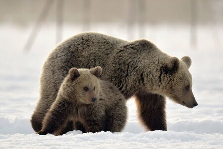 She-Bear and bear cub in winter forest. Winter forest at morning mist sunrise. Natural habitat. Brown bear, Scientific name: Ursus Arctos Arctos.