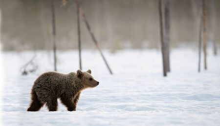Bear cub in winter forest. Winter forest at morning mist sunrise. Natural habitat. Brown bear, Scientific name: Ursus Arctos Arctos.