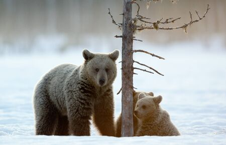 She-Bear and bear cubs in winter forest. Winter forest at morning mist sunrise. Natural habitat. Brown bear, Scientific name: Ursus Arctos Arctos. Stock Photo