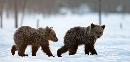 Bear cubs in winter forest. Winter forest at morning mist sunrise.  Natural habitat. Brown bear, Scientific name: Ursus Arctos Arctos.  Stock Photo