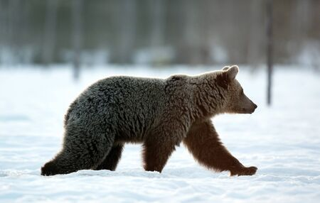 Brown bear walking on the snow in winter forest. Morning mist sunrise. Scientific name: Ursus Arctos. Winter forest. Natural Habitat.