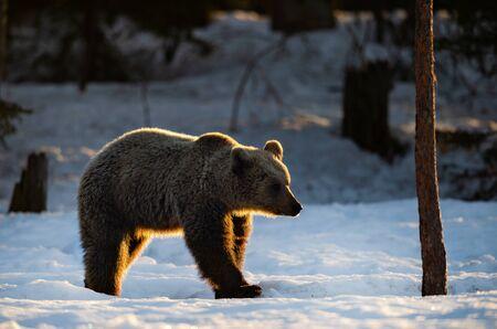 Brown bear in winter forest. Sunset light. Scientific name: Ursus Arctos. Natural Habitat.