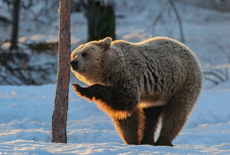 The bear sniffs a tree. Brown bear in the winter forest at sunset. Scientific name: Ursus arctos. Natural habitat. Winter season.