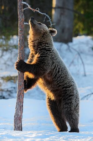 Brown bear stands on its hind legs by a pine tree in winter forest. Scientific name: Ursus arctos. Natural habitat. Winter season.