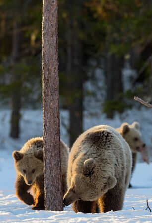 Bear sniffing a Pine Tree. She-Bear and bear cubs in the winter forest. Brown Bear, Scientific name: Ursus Arctos Arctos. Natural habitat. Stock Photo