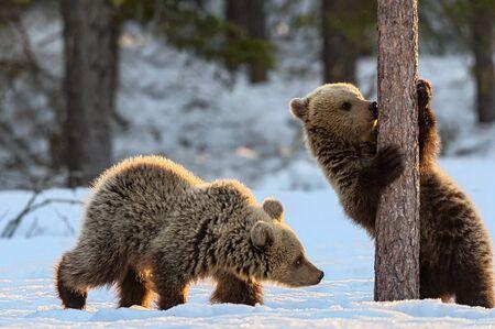 Bear Cub licking Tree. Cubs of Brown Bear in winter Forest in sunset light. Brown Bear, Scientific name: Ursus Arctos Arctos. Natural habitat.