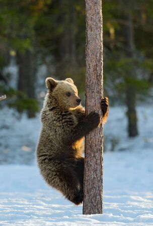 Bear Cub Climbing a Pine Tree. Sunset light in Winter forest. Brown Bear, Scientific name: Ursus Arctos Arctos. Natural habitat.  Stock Photo