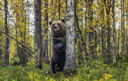 A bear stands by a tree on its hind legs and sticks out its tongue. Autumn forest. Scientific name: Ursus arctos. Natural habitat.