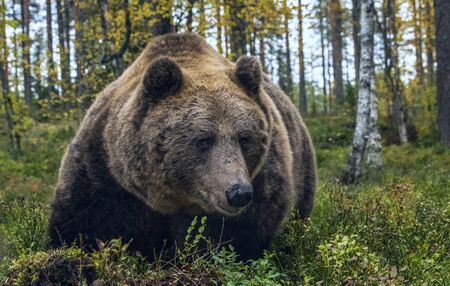 Big Adult Male of Brown bear in the autumn forest. Closeup front view. Scientific name: Ursus arctos. Natural habitat.