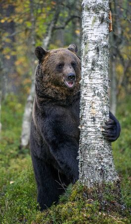 Brown bear stands on its hind legs by a tree in a pine forest. Scientific name: Ursus arctos. Natural habitat. Autumn season.