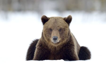 Bear lies  in the snow, winter forest. Front view. Brown bear in winter forest. Scientific name: Ursus Arctos. Natural Habitat.