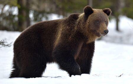 Brown bear walking on the snow. Scientific name: Ursus Arctos. Winter forest. Natural Habitat.