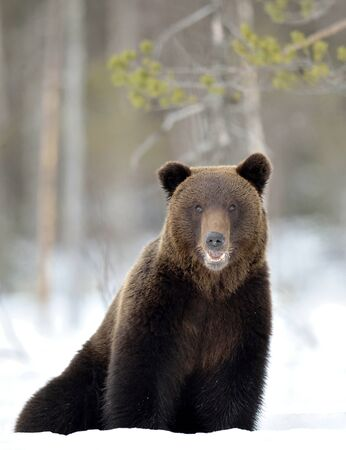Bear sits in the snow, opening its mouth. Front view.  Brown bear in winter forest. Scientific name: Ursus Arctos. Natural Habitat.