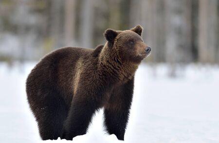 Wild Adult Brown bear in winter forest. Scientific name: Ursus Arctos. Natural Habitat. Stock Photo